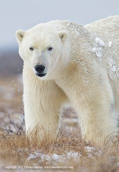 Polar bear, Hudson Bay by Charles Glatzer..