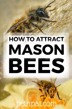 What are mason bees? How can you attract mason bees into your garden? There is so much to learn about these fascinating bees! Cat Care Tips, Dog Care, Pet Tips, Animal Nutrition, Pet Nutrition, Beekeeping For Beginners, Mason Bees, Pet Organization, Pumpkin Dog Treats
