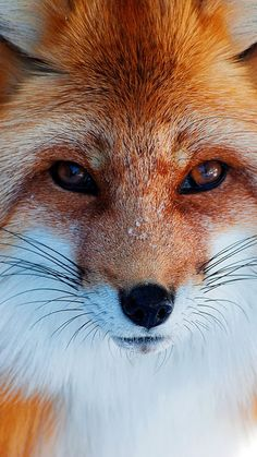 Wise red fox.