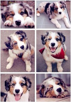 Australian Shepherd puppies will melt the hardest heart. Cute Puppies, Cute Dogs, Dogs And Puppies, Doggies, Adorable Babies, Aussie Puppies, Baby Dogs, Cute Baby Animals, Animals And Pets