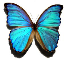 Morpho (butterfly) - Insects Reference Library - redOrbit