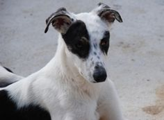 Boira es un podenco blanco y negro muy guapetón. Es súper cariñoso y busca desesperadamente las caricias...