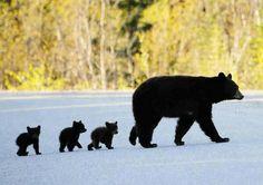 道路を横断する熊の親子