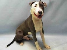 KING GEORGE – A1074117 MALE, GRAY / WHITE, AM PIT BULL TER MIX, 1 yr, 3 mos OWNER SUR – EVALUATE, NO HOLD Reason NO TIME Intake condition EXAM REQ Intake Date 05/17/2016, From NY 11212, DueOut Date 05/17/2016,
