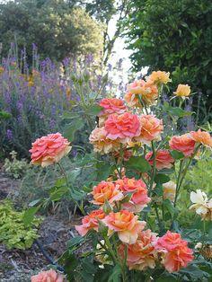 Rose Garden by Wild Rubies on Flickr