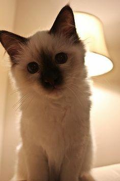 Curious Kitten #cats #cute #kittens