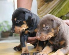 Doberman puppies available for sale