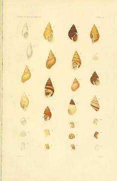v.26:no.2 (1902) - Some species of Partula from Tahiti. - Biodiversity Heritage Library