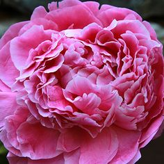 Peony-Dr. Alexander Fleming dark pink, shape rose, bloom time mid-late, height 3', hybridizer blonk 1950, fragrant.