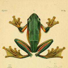 Racaphore de Reinwardt  Illustration from 'Erpétologie Générale, ou,Histoire Naturelle Complète des Reptiles'  by AMC Duméril & G Bibron, 1854.