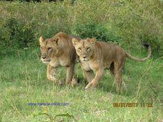 https://kenyasafarisholidays.wordpress.com/2015/05/30/lionesses-on-a-serious-mission/