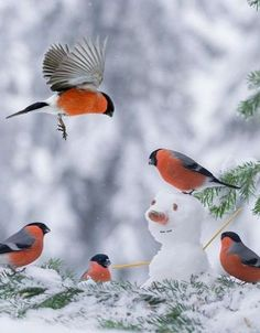 Bull Finches...Would you like to build a Snowman? Winter Fun !!!                                                                                                                                                      More