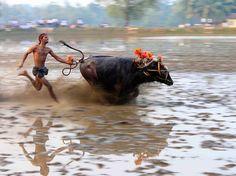 Buffalo Race, India - National Geographic