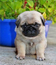 Cute Pug Puppy.