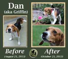 "Our dedicated help for this dog could be paraphrased as ""Stand by Your Dan!"" This two-year-old Treeing Walker Coonhound mix arrived at the Beaufort County Animal Control shelter in Washington, North Carolina on August 19th. He did not arrive alone. His canine and Coonhound companion Ann arrived with him. It was suspected that Ann might be pregnant. Both dogs were described as sweet and friendly. Dan was emaciated and had some injuries to his head and eye."