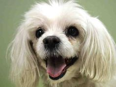 SUPER URGENT 11/15/14 Manhattan Center  MAX - A1020772  NEUTERED MALE, WHITE, MALTESE, 9 yrs OWNER SUR - ONHOLDHERE, HOLD FOR ID Reason NO TIME  Intake condition GERIATRIC Intake Date 11/15/2014, From NY 10026, DueOut Date 11/15/2014, I came in with Group/Litter #K14-202068.   https://www.facebook.com/Urgentdeathrowdogs/photos/a.617942388218644.1073741870.152876678058553/906908805988666/?type=3&theater