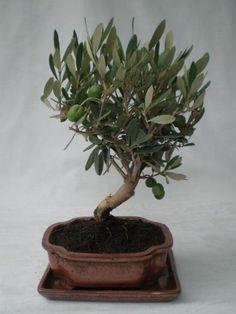 Bonsai & More / Olea Europaea/ Olive 49,-