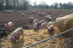 Freilandschweine Hippopotamus, Farming, Organic, Animals, Agriculture, Pork, Ideas, Animales, Animaux