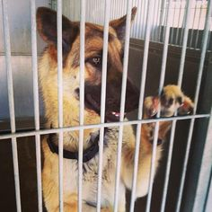 Meet FRANKENSTEIN, a Petfinder adoptable German Shepherd Dog Dog | Apple Valley, CA | PLEASE read entire note: All animals placed for adoption will be spayed or neutered before released...