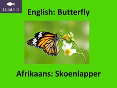 Word of the week. Insects. Insekte. Learn Afrikaans. SlimVis.