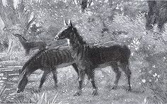 Hypohippos a Miocene Horse, Charles R. Knight.Hypohippos was a Miocene Horse that inhabited heavy undergrowth in North America.  Early North American Horses were not the ancestors of present day horses.
