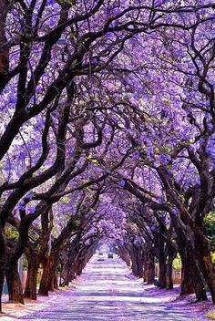 Jacaranda Tree Tunnel, Sydney, Australia #travel #Australia