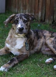 Camo is an adoptable Catahoula Leopard Dog Dog in Westbury, NY. This gorgeous guy is Camo!!! He is a 7 mth old male Catahoula hound mix. Camo is extremely friendly and eager to be your best bud. He is...