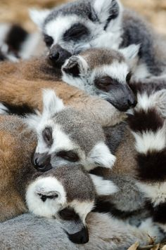 wild-diary:  Ring-Tailed Lemurs | Mathias Appel