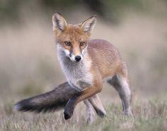 Red Fox by Richard McManus