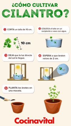 Cómo cultivar cilantro en macetas con o sin semillas - Eco Garden, Home Vegetable Garden, Fruit Garden, Edible Garden, Dream Garden, Garden Plants, Apartment Vegetable Garden, Garden Tips, Planting Vegetables