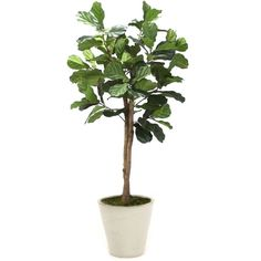 Distinctive Designs T-137-6-G10B-MD 6 Fiddle Leaf Tree in Medium... (875 CAD) ❤ liked on Polyvore featuring home, home decor, glazed ceramic planters, white planter, ceramic home decor, white home accessories and white ceramic planter