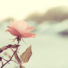 Vintage Pastel Color Pink Rose