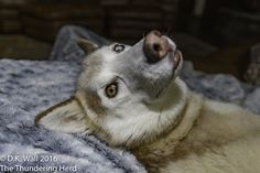 Cheesewhiz has a small request of hu-Dad. #dog #siberianhusky #husky