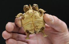Twin Turtles