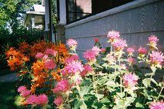Lilies and Bee Balm
