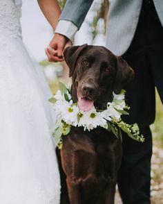 Dog Wedding, Wedding Engagement, Rustic Wedding, Dream Wedding, Wedding Ideas, Chocolate Lab Puppies, Chocolate Labs, Cute Puppies, Cute Dogs