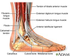 Foot tendon injury is typically caused by overusing or straining the feet. A foot tendon injury can typically be treated with home care, but in more severe cases medical intervention may be necessary. Ankle Anatomy, Foot Anatomy, Anatomy Bones, Human Anatomy, Ligaments And Tendons, Anatomy Images, Body Diagram, Ankle Pain, Med School