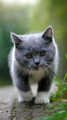 I love cute cats and kittens 'cuz they bring me happiness. Cute Cats And Kittens, I Love Cats, Kittens Cutest, Kitty Cats, Fluffy Kittens, Cats Bus, Ragdoll Kittens, Tabby Cats, Bengal Cats
