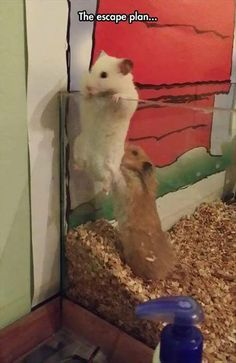 Part 1 of the escape plan: White hamster: come on push!!!!!                                                  Brown hamster: i am trying u weigh a lot  more then u look!! And how will i Get out?                                                   White hamster: first of all r u calling me fat? And it is your prob figure it out by your self!!!!!