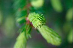 Kuusenkerkkähillo! Siinä vasta hillo. Maustuu hauskasti metsältä :). Kuusenkerkät ovat parhaimmillaan kesän alussa, kesäkuun ensimmäisillä viikoilla. Niitä kannattaa kerätä, mutta ongelmaksi… Life Hacks, Life Tips, Healthy Life, Herbalism, Dandelion, Nature, Flowers, Plants, Photography