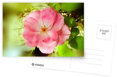 Last Rose of Summer Postcard by DianaMatisz