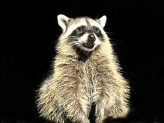 Happy Birthday to You! Cute little Rosco the Raccoon sings his very own funny version of the Happy Birthday song, just for you! For more Funny Birthday Songs. Funny Happy Birthday Song, Happy Birthday Video, Birthday Songs, Birthday Quotes, Humor Birthday, Baby Raccoon, Cute Raccoon, Birthday Greetings, Birthday Wishes