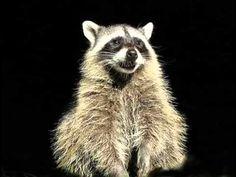 Funny Birthday Song (Rosco the Raccoon)- LOL! Thanks Angela Stevens for sending me this!