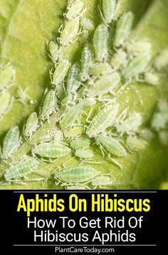 Aphids on Hibiscus can cause leaf distortion and curling, turn leaves yellow, even cause plants to collapse, they also carry viruses. Hibiscus Shrub, Hibiscus Leaves, Hibiscus Garden, Yellow Hibiscus, Hibiscus Plant, Aphids On Plants, Aphid Spray, Get Rid Of Aphids, Growing Hibiscus