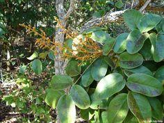 Araribá - A floração da arariba-do-campo também chama pouco a atenção. Aqui, só os botões. Vejam que as folhas têm um formato pouco comum (lembra um retângulo com as arestas arredondadas).