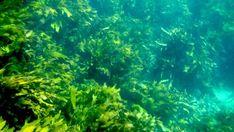 Thriving kelp forests impress - NZ Herald Paris Climate Change, Wild Deer, Kelp Forest, Marine Reserves, Bay Of Islands, Oceans Of The World, Greenhouse Gases, Ocean Waves, Western Australia