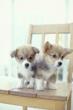 I'm torn between pug puppies and corgi puppies!!!