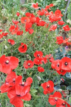 Glorious poppies with their delicate crepey petals!