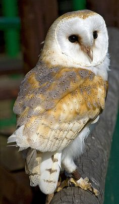 Barn Owl. Their pale heart-shaped faces set them apart from their cousins.