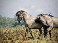 Alongside by Henri Ton | Two Konik Stallions
